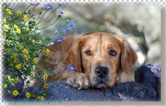 Фотошоп уроки собака
